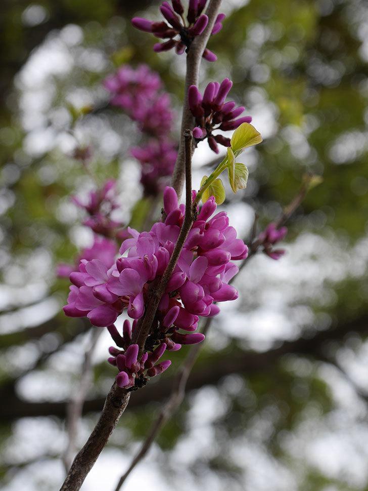 ハナズオウの花が咲きだした。2021年-014.jpg