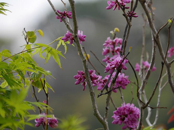 ハナズオウの花が増えて来た。2020年-1.jpg