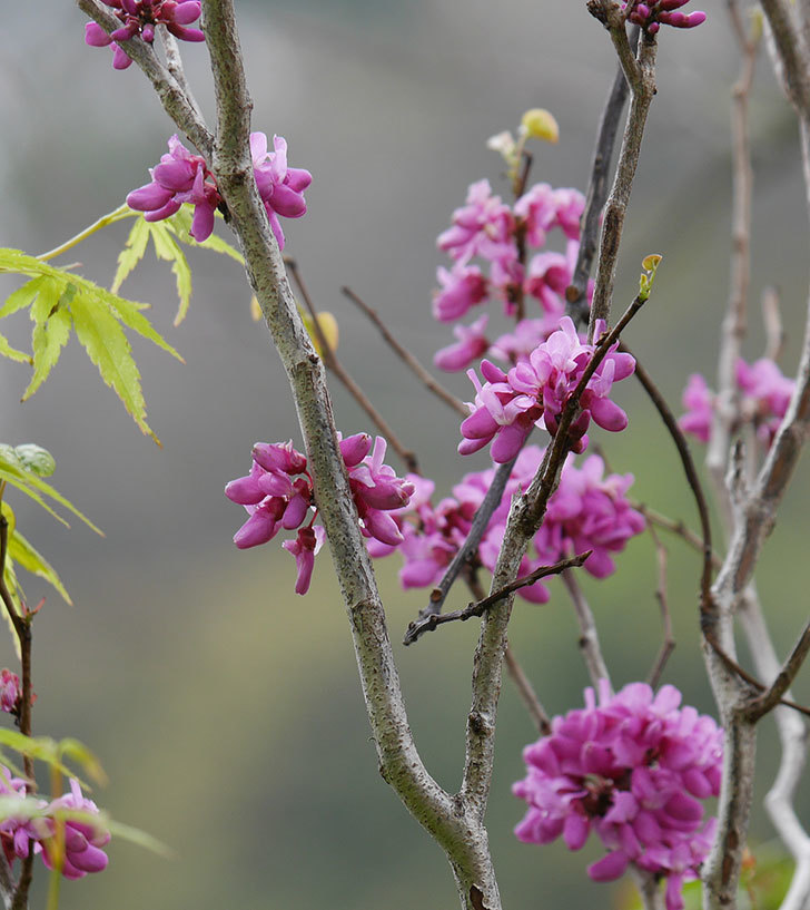 ハナズオウの花が増えて来た。2020年-2.jpg