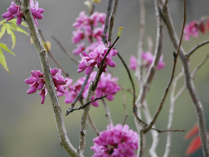ハナズオウの花が増えて来た。2020年-3.jpg