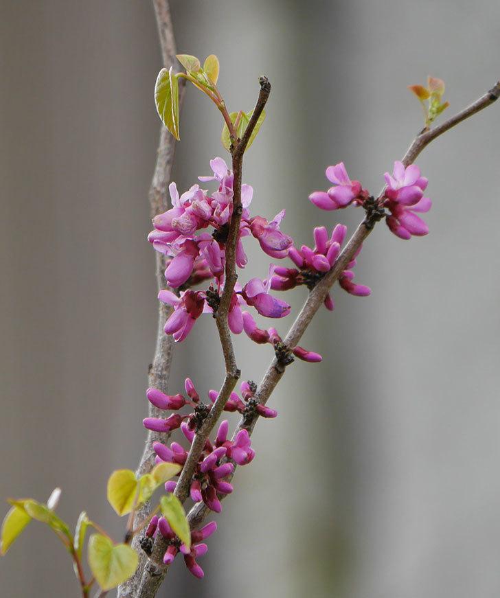 ハナズオウの花が増えて来た。2020年-4.jpg