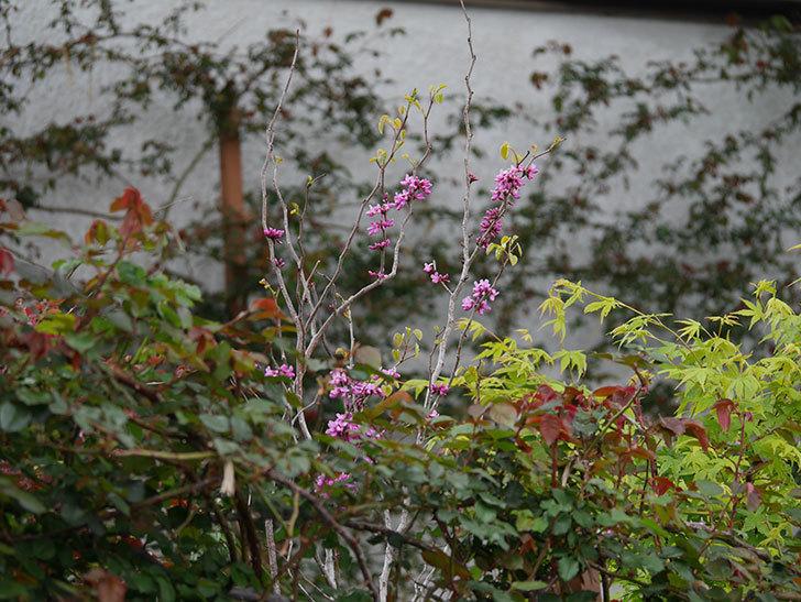 ハナズオウの花が増えて来た。2020年-5.jpg