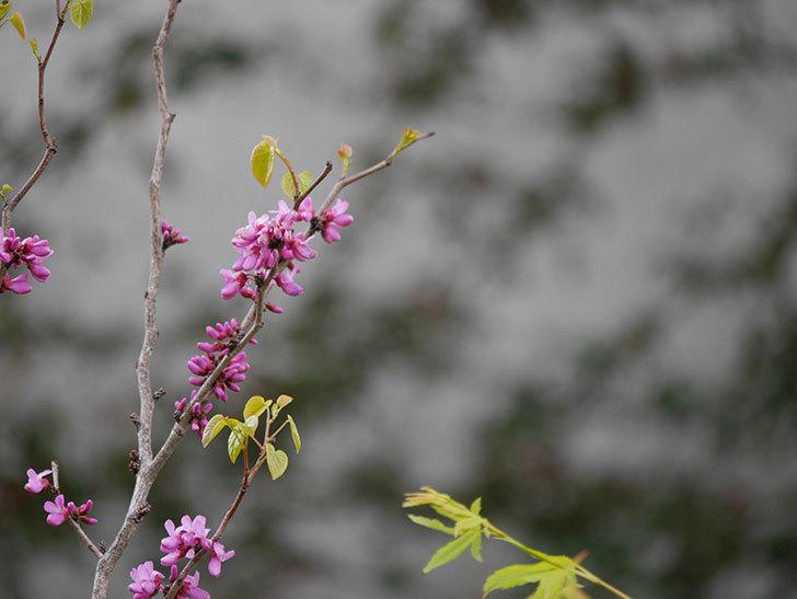 ハナズオウの花が増えて来た。2020年-6.jpg