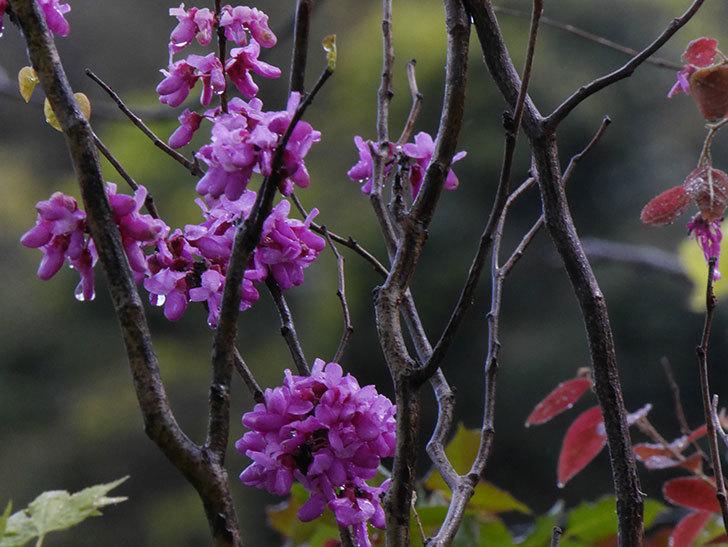 ハナズオウの花が増えて来た。2020年-8.jpg