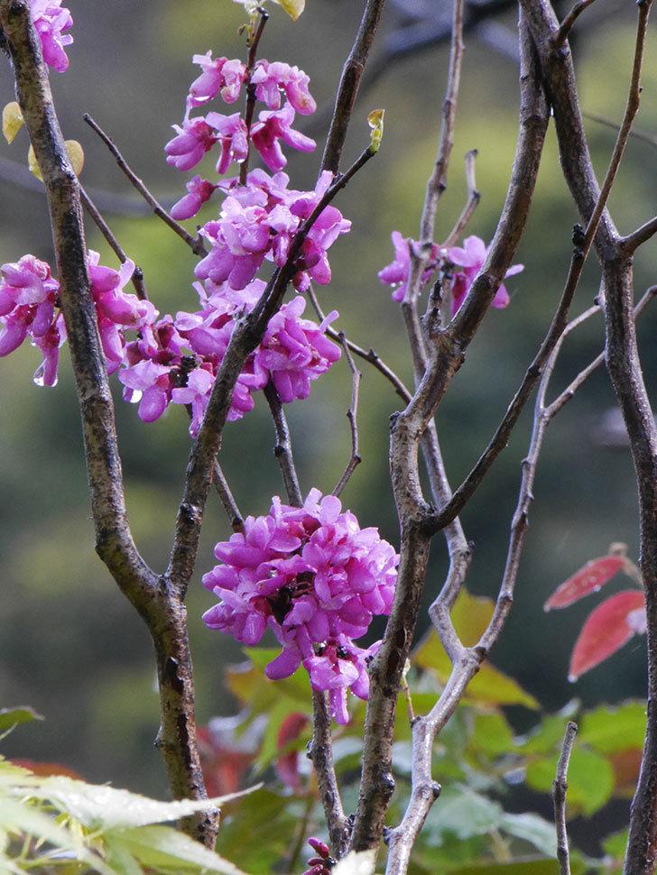 ハナズオウの花が増えて来た。2020年-9.jpg