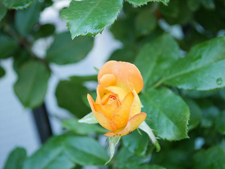 ハニー キャラメル(Honey Caramel)の2番花が咲いた。半ツルバラ。2021年-003.jpg