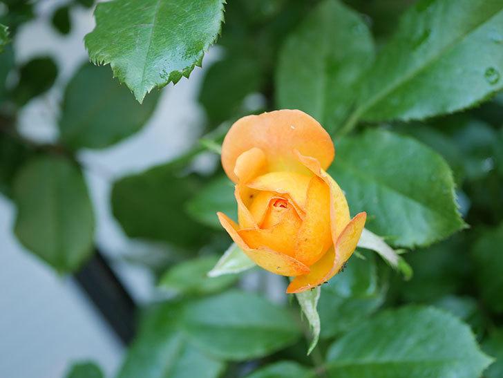 ハニー キャラメル(Honey Caramel)の2番花が咲いた。半ツルバラ。2021年-004.jpg