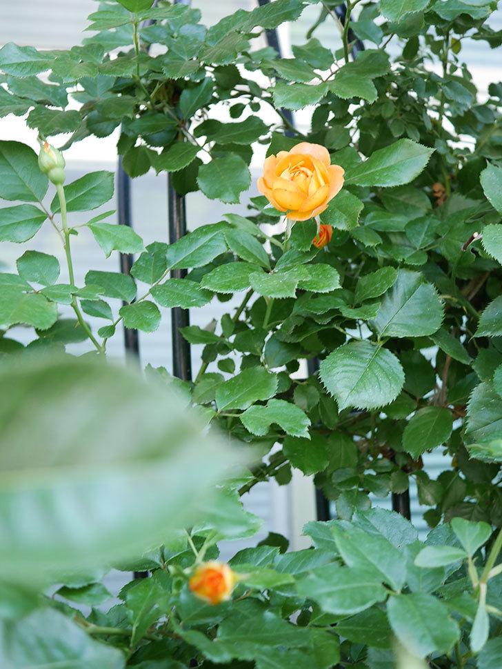 ハニー キャラメル(Honey Caramel)の2番花が咲いた。半ツルバラ。2021年-006.jpg