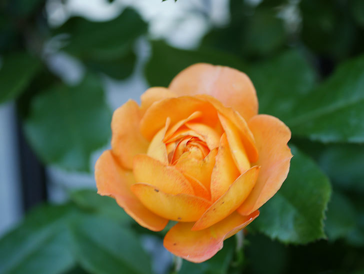 ハニー キャラメル(Honey Caramel)の2番花が咲いた。半ツルバラ。2021年-007.jpg