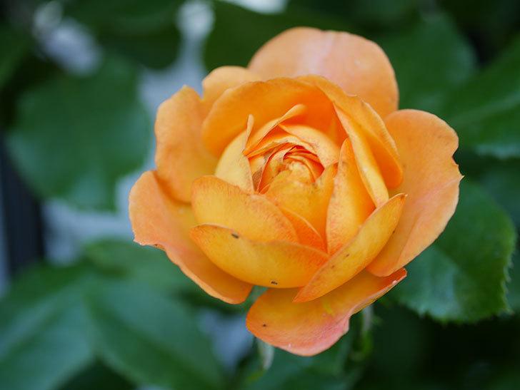 ハニー キャラメル(Honey Caramel)の2番花が咲いた。半ツルバラ。2021年-008.jpg