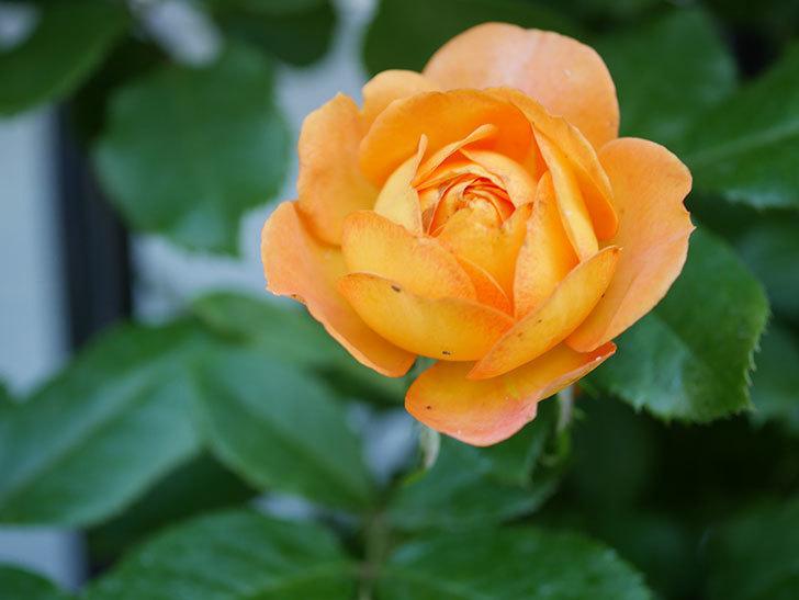 ハニー キャラメル(Honey Caramel)の2番花が咲いた。半ツルバラ。2021年-009.jpg