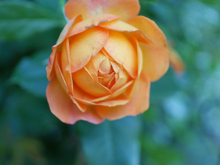 ハニー キャラメル(Honey Caramel)の2番花が咲いた。半ツルバラ。2021年-010.jpg