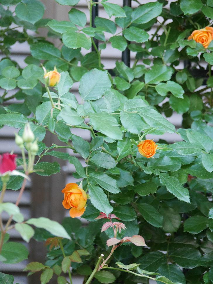ハニー キャラメル(Honey Caramel)の2番花が咲いた。半ツルバラ。2021年-011.jpg