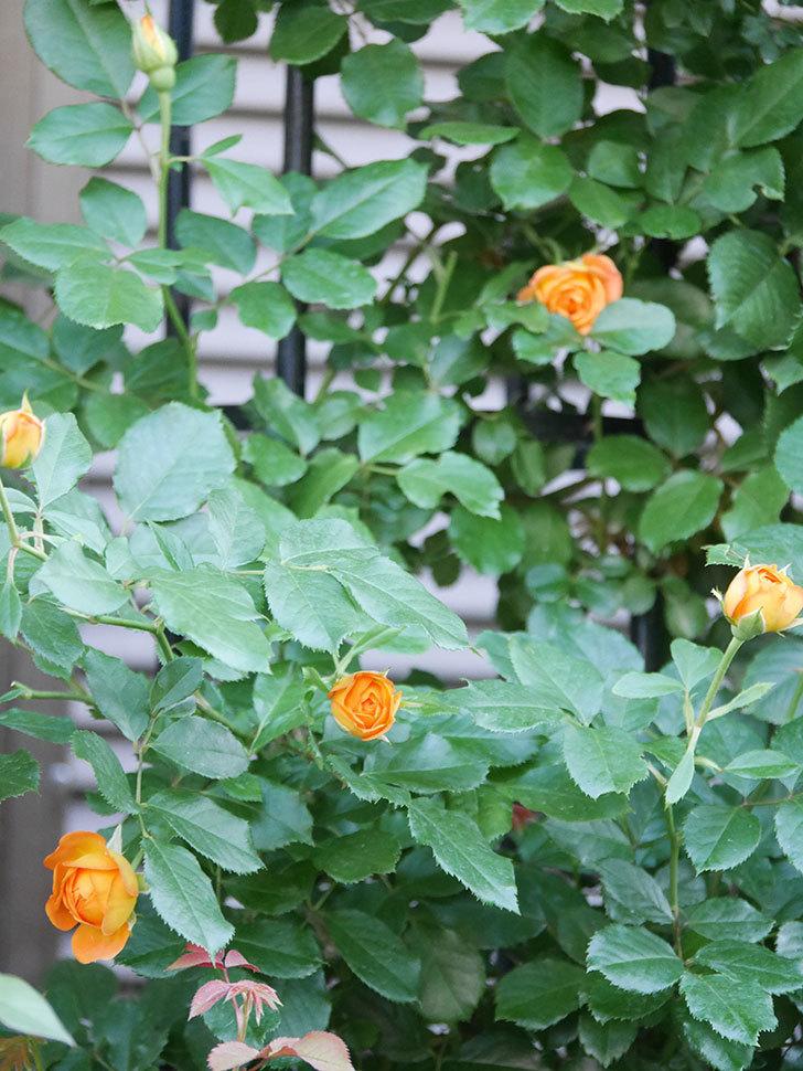 ハニー キャラメル(Honey Caramel)の2番花が咲いた。半ツルバラ。2021年-012.jpg