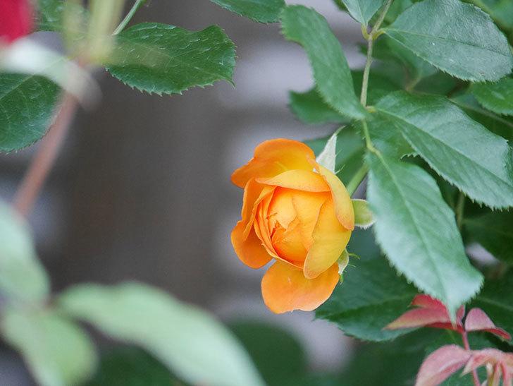 ハニー キャラメル(Honey Caramel)の2番花が咲いた。半ツルバラ。2021年-013.jpg