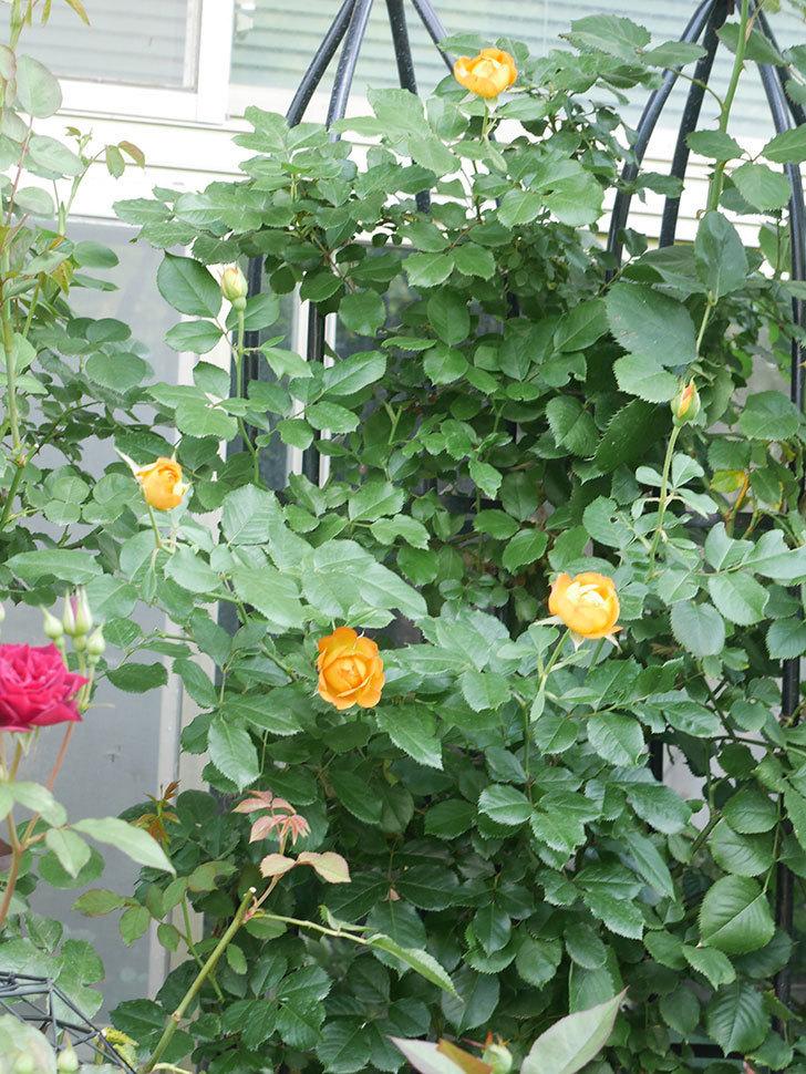 ハニー キャラメル(Honey Caramel)の2番花が咲いた。半ツルバラ。2021年-015.jpg