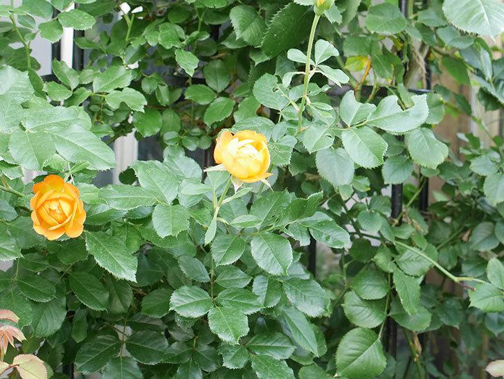 ハニー キャラメル(Honey Caramel)の2番花が咲いた。半ツルバラ。2021年-016.jpg