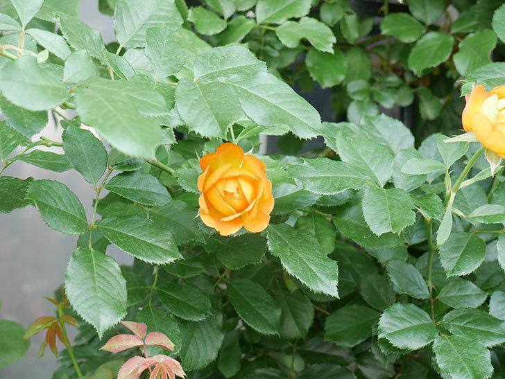 ハニー キャラメル(Honey Caramel)の2番花が咲いた。半ツルバラ。2021年-017.jpg