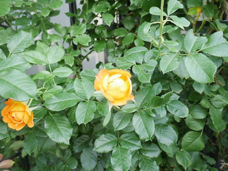 ハニー キャラメル(Honey Caramel)の2番花が咲いた。半ツルバラ。2021年-018.jpg
