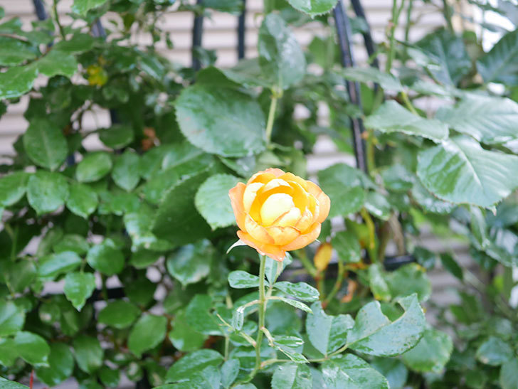 ハニー キャラメル(Honey Caramel)の2番花が咲いた。半ツルバラ。2021年-020.jpg