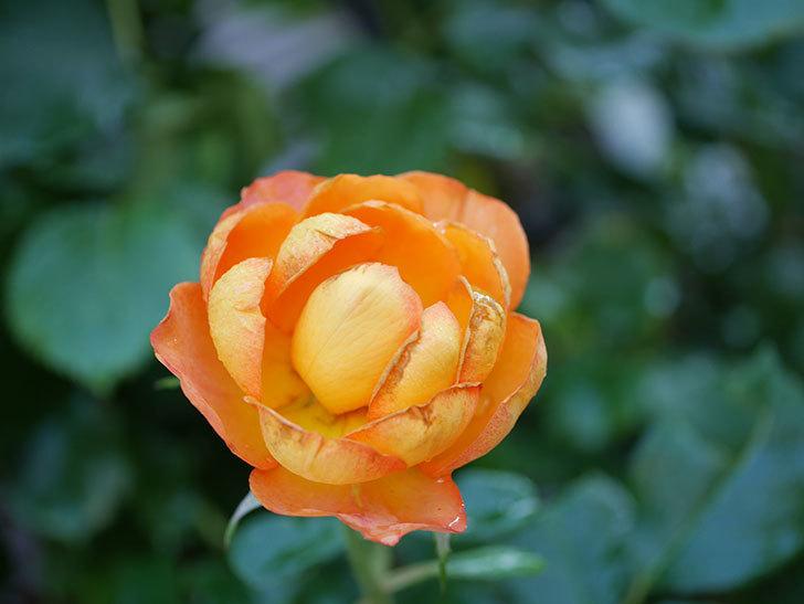 ハニー キャラメル(Honey Caramel)の2番花が咲いた。半ツルバラ。2021年-021.jpg