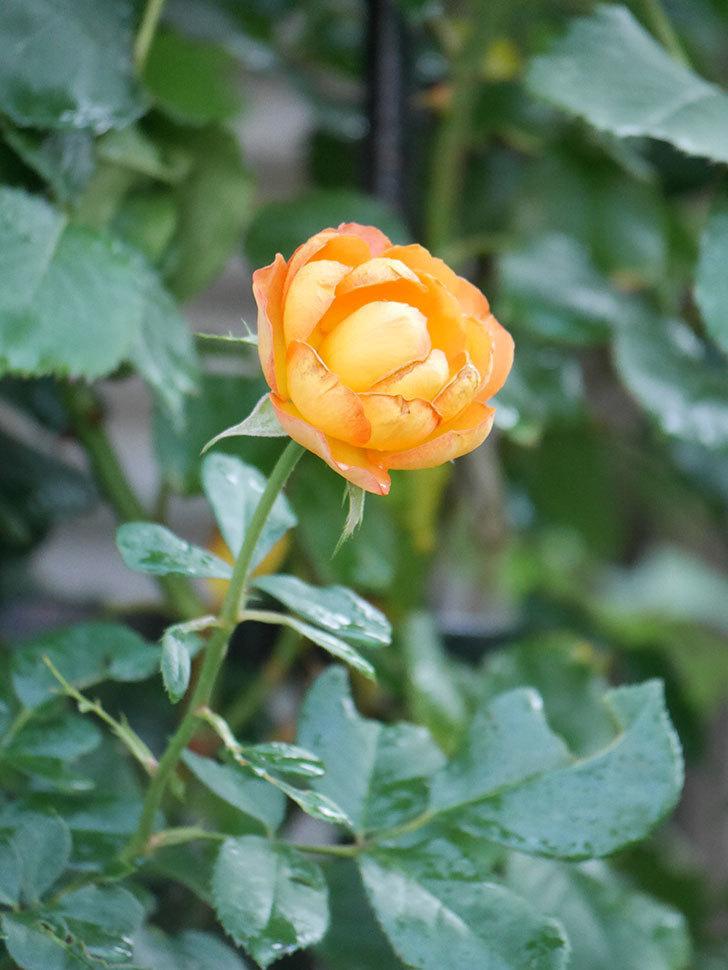 ハニー キャラメル(Honey Caramel)の2番花が咲いた。半ツルバラ。2021年-022.jpg