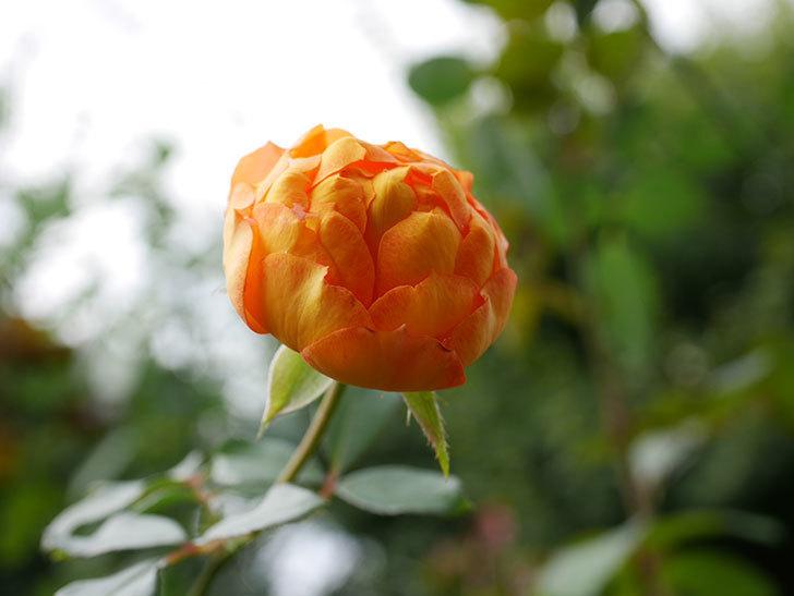 ハニー キャラメル(Honey Caramel)の新苗に秋花が咲いた。半ツルバラ。2020年-002.jpg