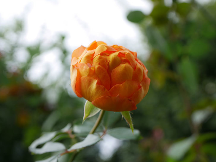 ハニー キャラメル(Honey Caramel)の新苗に秋花が咲いた。半ツルバラ。2020年-003.jpg