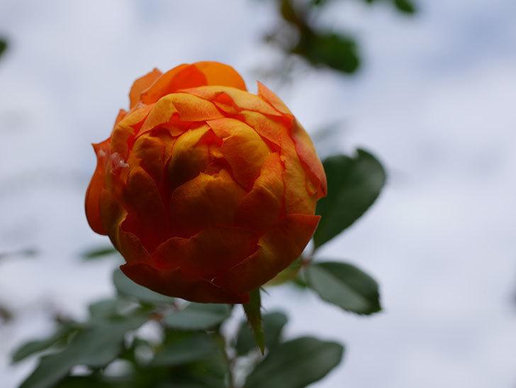 ハニー キャラメル(Honey Caramel)の新苗に秋花が咲いた。半ツルバラ。2020年-004.jpg