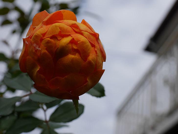 ハニー キャラメル(Honey Caramel)の新苗に秋花が咲いた。半ツルバラ。2020年-005.jpg