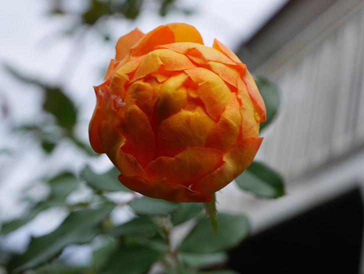 ハニー キャラメル(Honey Caramel)の新苗に秋花が咲いた。半ツルバラ。2020年-006.jpg