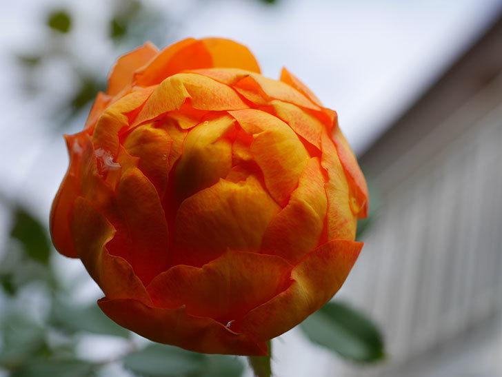 ハニー キャラメル(Honey Caramel)の新苗に秋花が咲いた。半ツルバラ。2020年-007.jpg