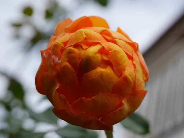 ハニー キャラメル(Honey Caramel)の新苗に秋花が咲いた。半ツルバラ。2020年-008.jpg