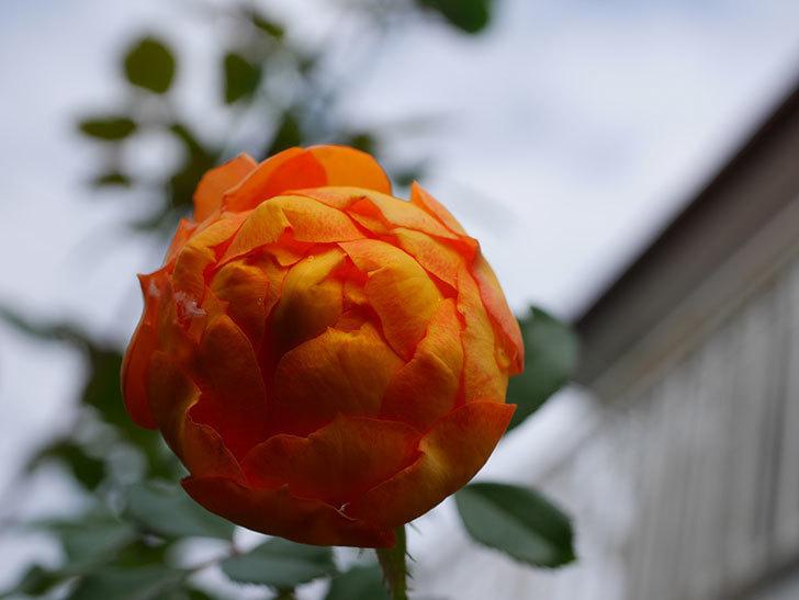 ハニー キャラメル(Honey Caramel)の新苗に秋花が咲いた。半ツルバラ。2020年-009.jpg