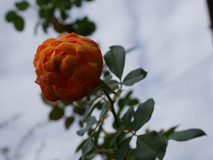 ハニー キャラメル(Honey Caramel)の新苗に秋花が咲いた。半ツルバラ。2020年-010.jpg