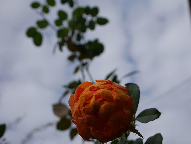 ハニー キャラメル(Honey Caramel)の新苗に秋花が咲いた。半ツルバラ。2020年-011.jpg