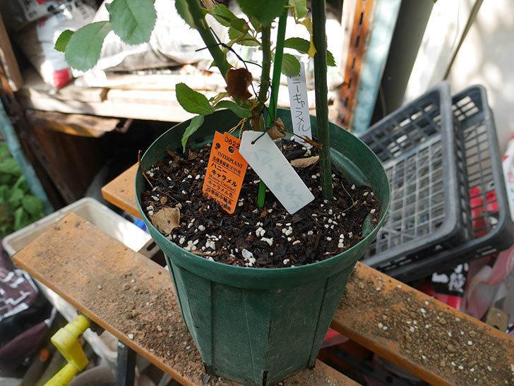 ハニー キャラメル(Honey Caramel)の新苗を8号ロングスリット鉢に植え替えた。2020年-001.jpg