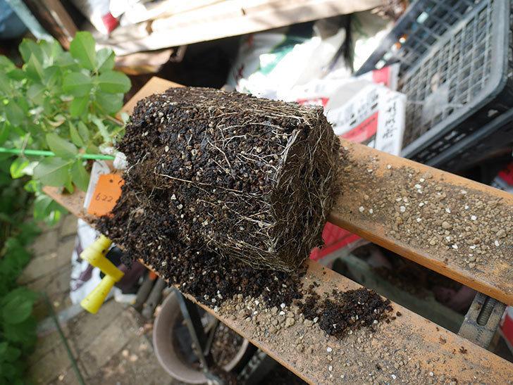 ハニー キャラメル(Honey Caramel)の新苗を8号ロングスリット鉢に植え替えた。2020年-003.jpg