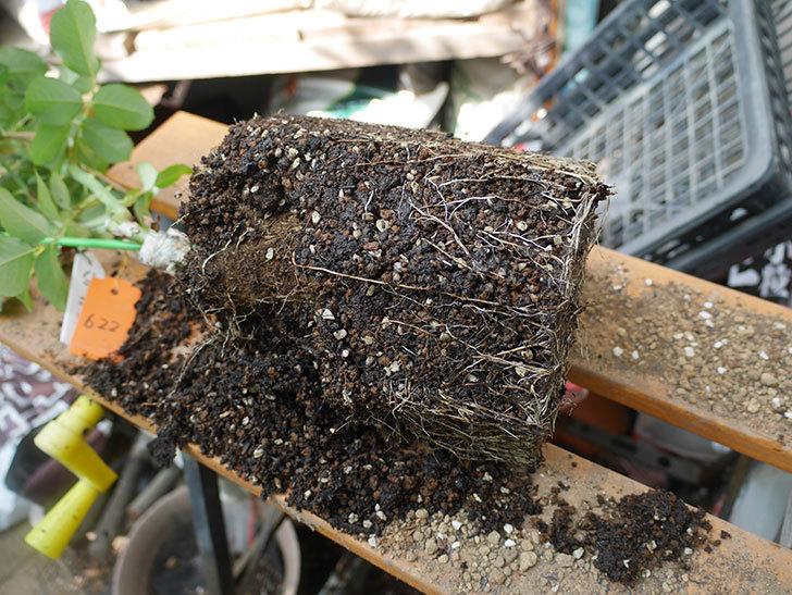 ハニー キャラメル(Honey Caramel)の新苗を8号ロングスリット鉢に植え替えた。2020年-004.jpg