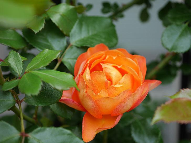ハニー キャラメル(Honey Caramel)の花が咲いた。半ツルバラ。2021年-001.jpg