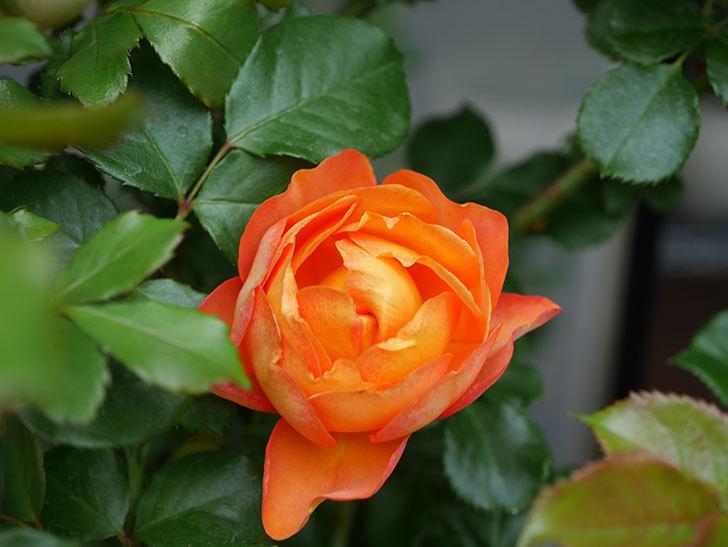 ハニー キャラメル(Honey Caramel)の花が咲いた。半ツルバラ。2021年-004.jpg