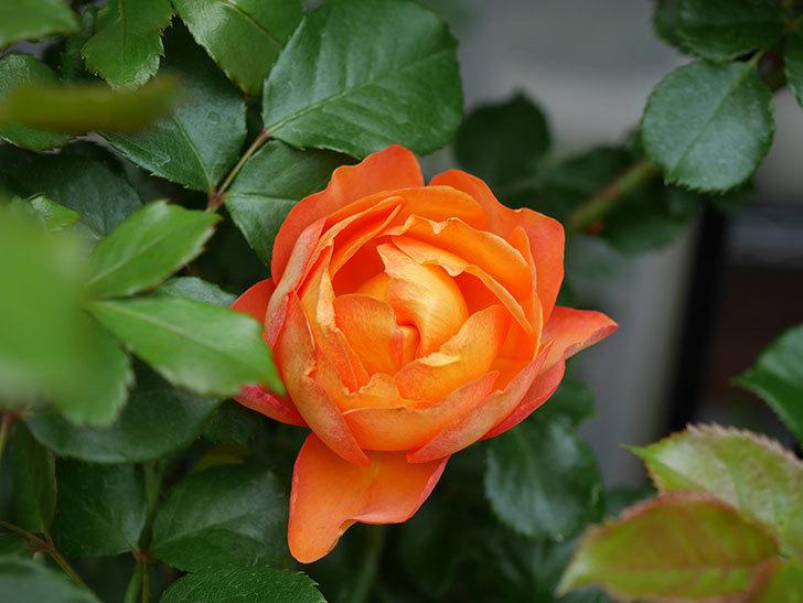 ハニー キャラメル(Honey Caramel)の花が咲いた。半ツルバラ。2021年-005.jpg