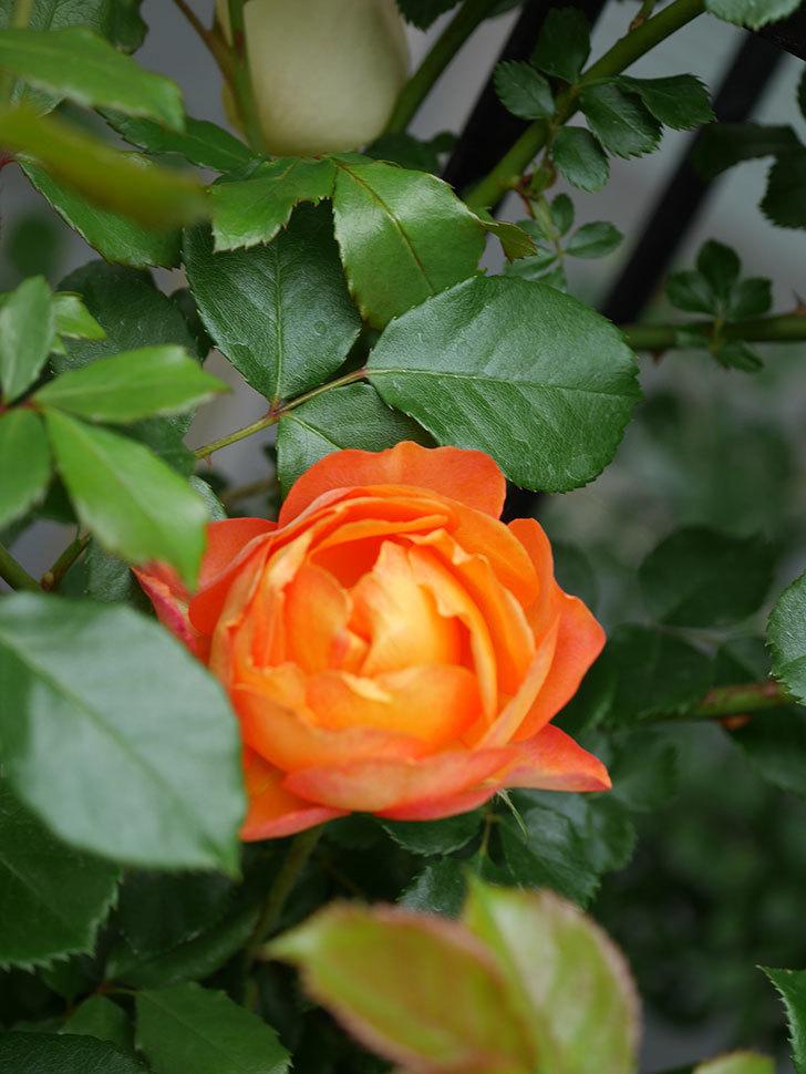 ハニー キャラメル(Honey Caramel)の花が咲いた。半ツルバラ。2021年-007.jpg