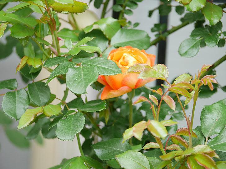 ハニー キャラメル(Honey Caramel)の花が咲いた。半ツルバラ。2021年-008.jpg