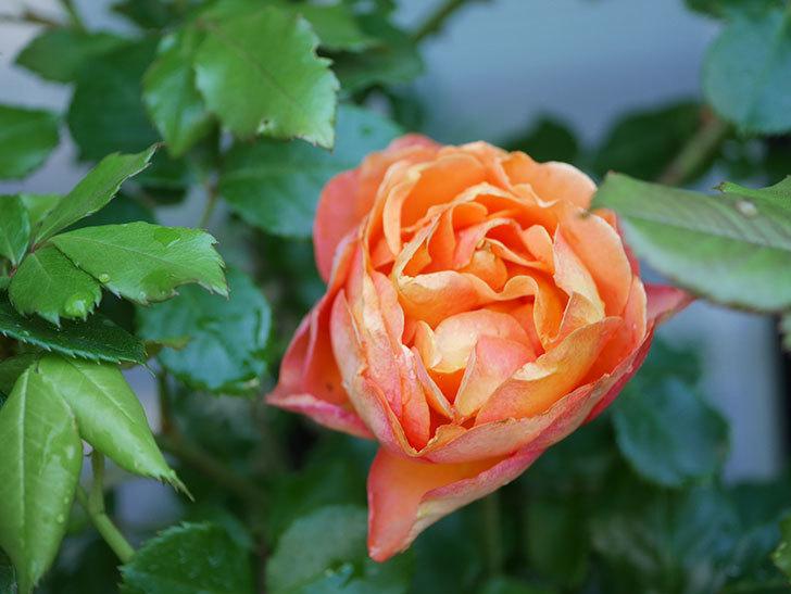 ハニー キャラメル(Honey Caramel)の花が咲いた。半ツルバラ。2021年-009.jpg