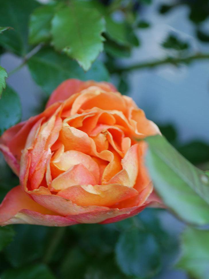 ハニー キャラメル(Honey Caramel)の花が咲いた。半ツルバラ。2021年-010.jpg