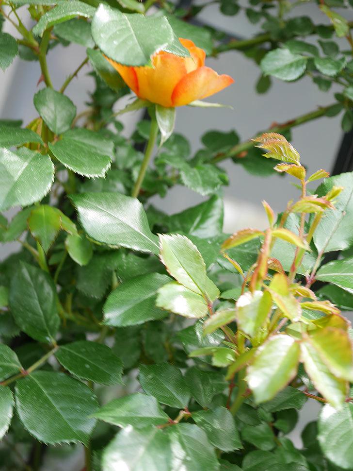 ハニー キャラメル(Honey Caramel)の花が咲きだした。半ツルバラ。2021年-001.jpg