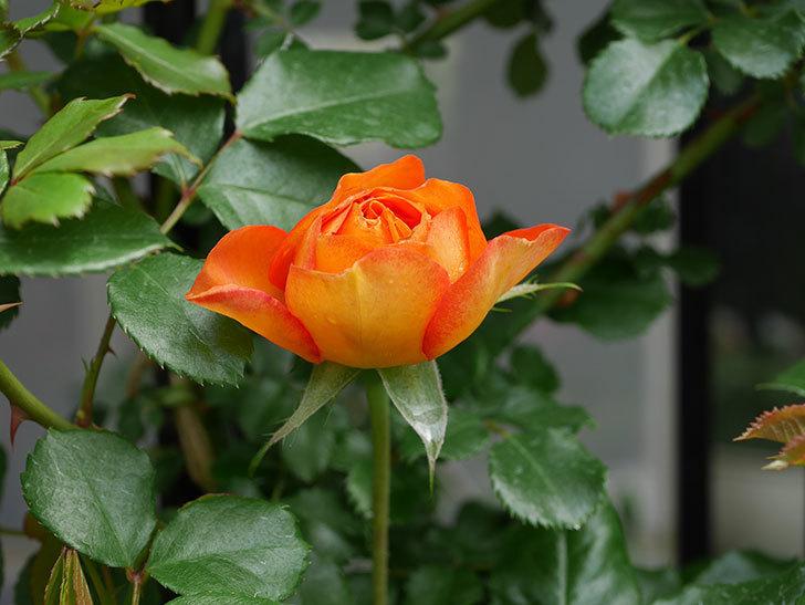 ハニー キャラメル(Honey Caramel)の花が咲きだした。半ツルバラ。2021年-002.jpg