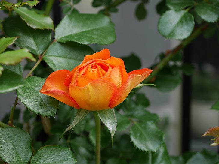 ハニー キャラメル(Honey Caramel)の花が咲きだした。半ツルバラ。2021年-003.jpg