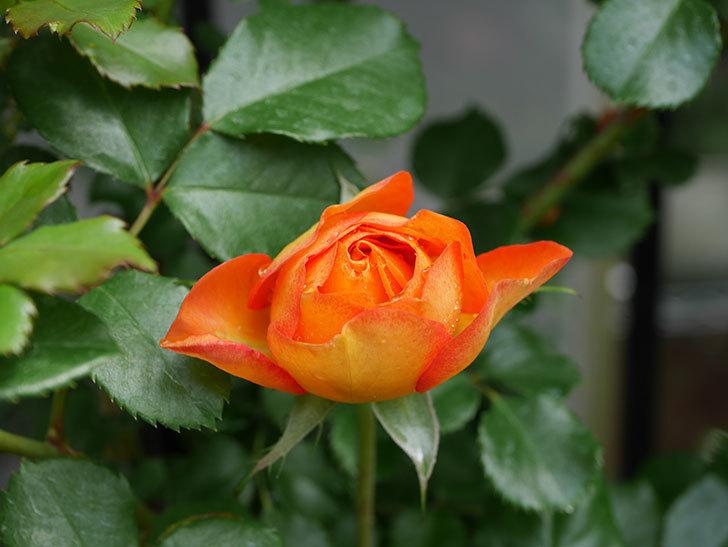 ハニー キャラメル(Honey Caramel)の花が咲きだした。半ツルバラ。2021年-004.jpg